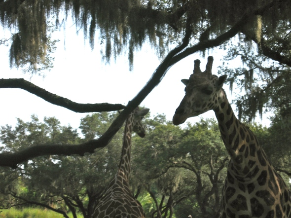 Giraffes really close to the vehicle Animal Kingdom Park