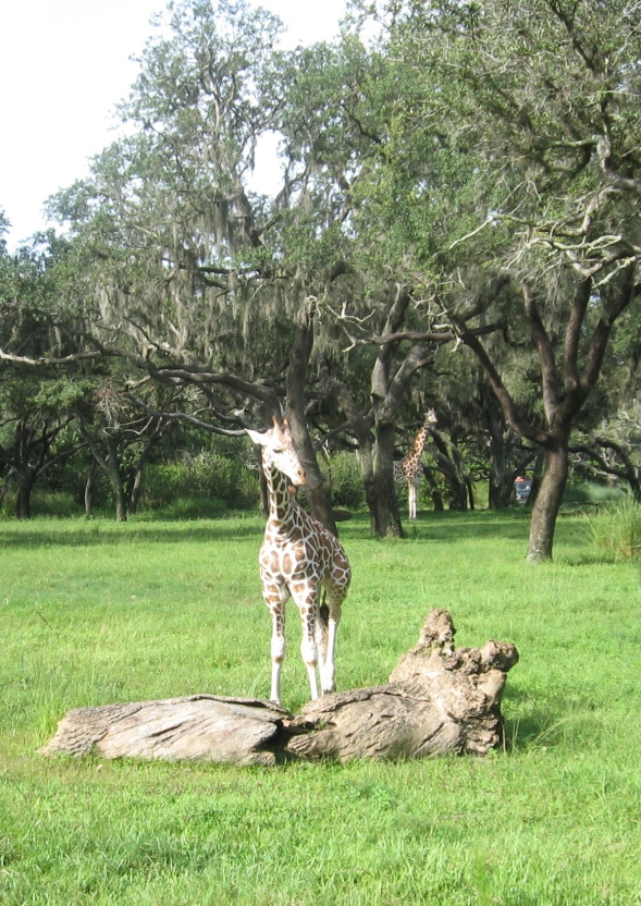 Baby Giraffe Animal Kingdom Park