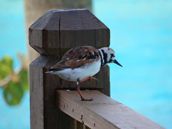 sandpiper Nassau Bahamas